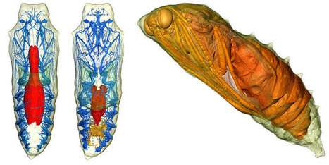 3-D Scans Reveal Caterpillars Turning Into Butterflies – Phenomena | Smart devices and technology solutions | Scoop.it