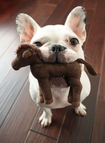 Daily Funny Dog Pictures: French Bulldog Said This Is Horse Meat LOL | Funny Animal Pictures | Scoop.it