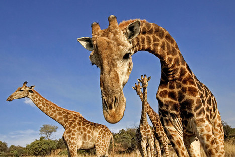 Giraffes spend their evenings humming to each other   New Scientist   animals and prosocial capacities   Scoop.it