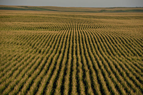 Too Much Corn With Nowhere to Go as U.S. Sees Record Crop | Sustainable Futures | Scoop.it