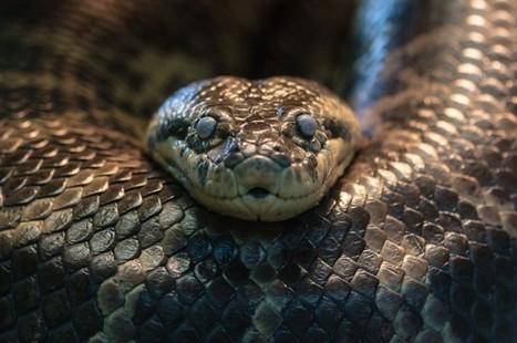 "Female Anaconda At Safari Park Has ""Virgin Birth"" | IFLScience | Animal Management | Scoop.it"