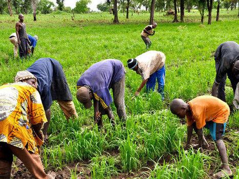 Nigeria : Murang'a revitalisé par une nouvelle variété de riz - Agence Ecofin | Développer l'industrie agroalimentaire en Afrique | Scoop.it