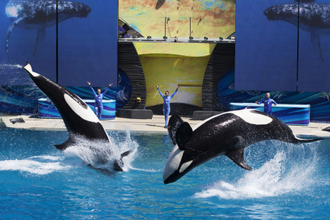 Here's All the Places Around the World That Ban Orca Captivity | Marine Protection | Scoop.it