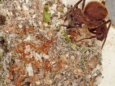Les premières pratiques agricoles chez les fourmis dateraient d'il y a 60 millions d'années / Ants invented farming 60 million years ago | EntomoNews | Scoop.it