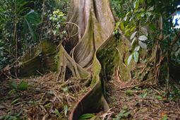 Kapok Tree (Ceiba pentandra)   Rainforest Alliance   Year 4: The earth's environment sustains us all   Scoop.it