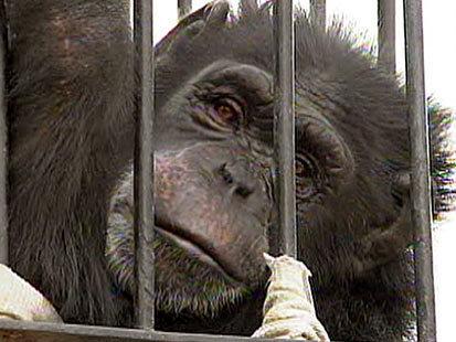 1 Chimp Dead After Vegas Escape | READ WHAT I READ | Scoop.it