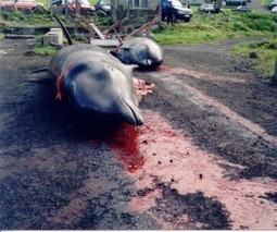 Applaud Zoo Association's Withdrawal from Taiji Dolphin Slaughter | GarryRogers NatCon News | Scoop.it
