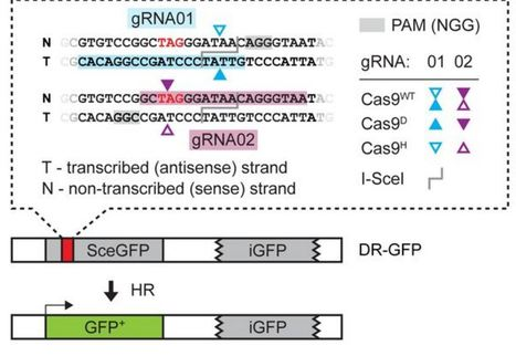 Distinct genetic control of homologous recombination repair of Cas9-induced double-strand breaks, nicks and paired nicks | Plant-Microbe Interaction | Scoop.it