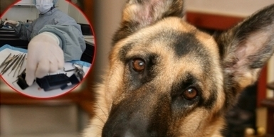 Government of Serbia: Stop Serbian army to sacrifice eight German Shepherds for experiment!   animals   Scoop.it