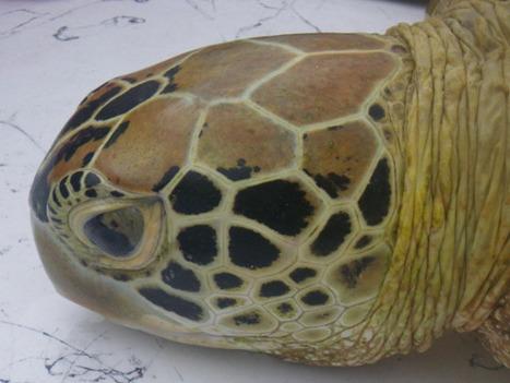 Turtle Identification   GarryRogers Biosphere News   Scoop.it