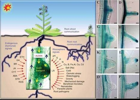 Abscisic Acid and LATERAL ROOT ORGAN DEFECTIVE/... | Rhizosphere interactions | Scoop.it