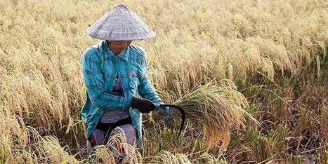 Hybrid Rice Production ׀ DuPont Pioneer | science | Scoop.it