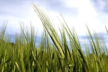 Appetite for wheat but price may slip - Stock Journal | Import-export | Scoop.it