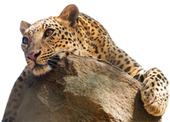 Conservation genetics: Leopard-skin origins traced : Nature : Nature Publishing Group | Bioinformatics | Scoop.it