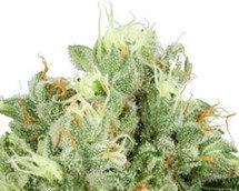 Semillas de Marihuana Autoflorecientes | Semillas de Marihuana | Scoop.it