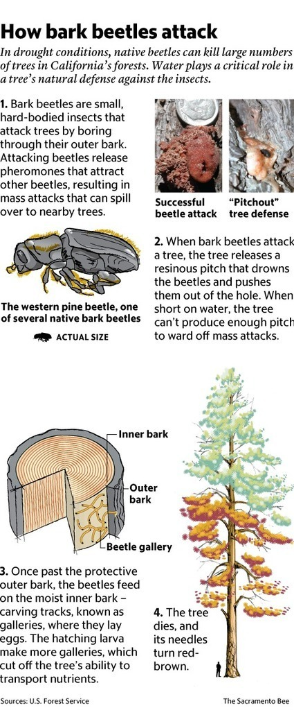 Drought, beetles preying on weakened California forests | The Sacramento Bee - Sacramento Bee | GarryRogers NatCon News | Scoop.it