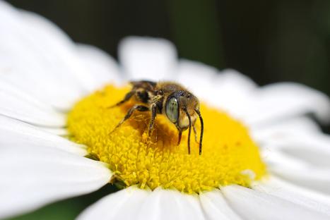 Semaine des pollinisateurs : regard sur les abeilles et leurs enjeux - Nouvelles - Agriculture urbaine Montréal | Nourrir la ville | Scoop.it