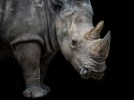 Are These Wild Ideas Our Last Hope for Saving Africa's Rhinos? | What's Happening to Africa's Rhino? | Scoop.it
