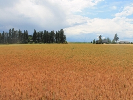 MSU Montana Agricultural Experiment Station releases wheat variety Egan resistant to wheat midge | WHEAT | Scoop.it