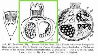 Pomegranates and the art of herbivore attraction | Archaeobotany and Domestication | Scoop.it