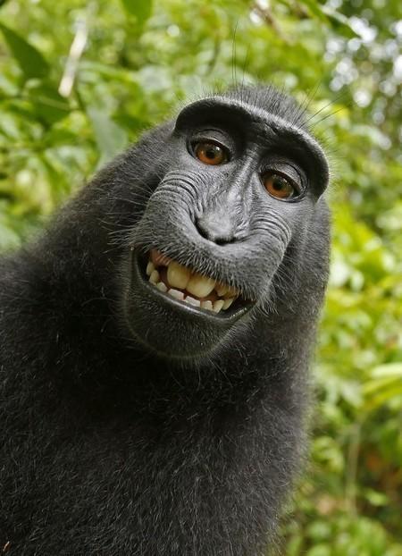 L'affaire du selfie de singe n'est peut-être pas terminée | Web 2.0 et société | Scoop.it