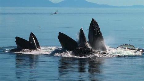 #Whales Team Up in Amazing Bubble-Net Hunt | Now is the Time to Help our Oceans & it's Species ! | Scoop.it