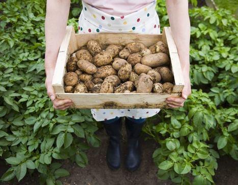 Commet cuisiner les pommes de terre ?   MILLESIMES 62 : blog de Sandrine et Stéphane SAVORGNAN   Scoop.it