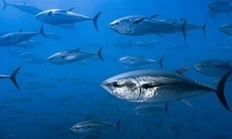 Tuna and mackerel populations suffer catastrophic 74% decline, research shows | Food issues | Scoop.it