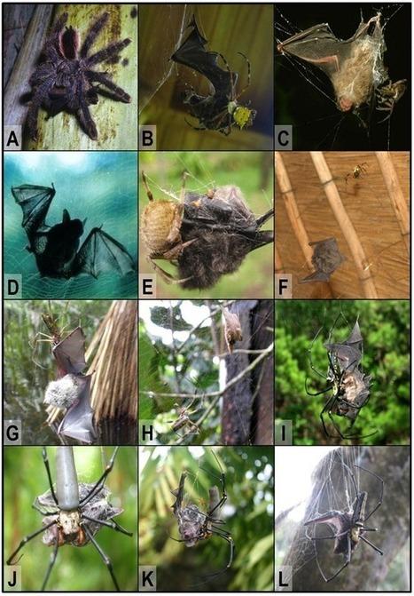 L'attaque des araignées sur les chauves-souris est plus répandue qu'on ne le pensait | Mes passions natures | Scoop.it