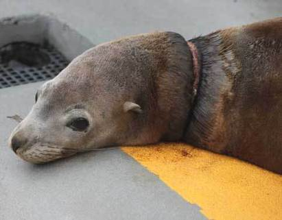 Happy Endings The Marine Mammal Center : Blonde Bomber Rescue | Compassion in Action | Scoop.it