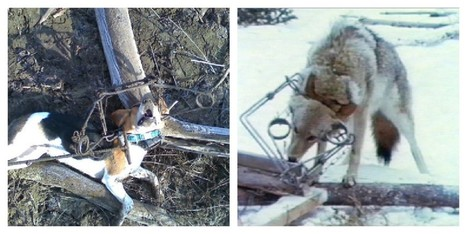 Hunters Upset When Dogs Are Trapped, But Still Want To Hunt ... | Animals R Us | Scoop.it