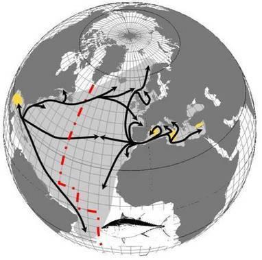 Quotas de pêche en hausse pour le thon rouge de l'Atlantique   Responsabilité humaine et environnement   Scoop.it