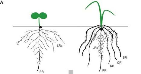 Growing Out of Stress: The Role of Cell- and Organ-scale Growth Control in Plant Water-stress Responses | plant cell genetics | Scoop.it