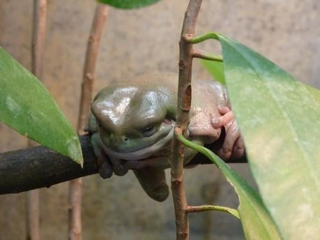 Photos de grenouille arboricole: Rainette de White - Litoria caerulea | Fauna Free Pics - Public Domain - Photos gratuites d'animaux | Scoop.it
