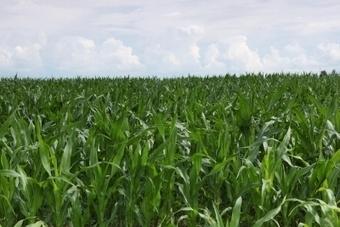 Portugal cultiva mais milho geneticamente modificado | Engenharia Genética | Scoop.it