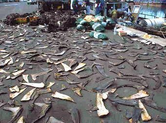 Shark fin soup ban takes effect Monday | All about water, the oceans, environmental issues | Scoop.it