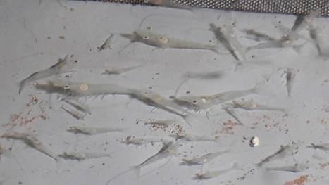 Jättikatkaravut kasvavat Uudessakaupungissa – kasvatusta kokeillaan ensimmäistä kertaa Suomessa | Rapu ja rapurutto, Crayfish and crayfish plague | Scoop.it