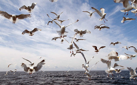 Seagull Season 2014 - A News Round-Up   pest control   Scoop.it