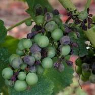 Comment vinifier des vendanges altérées par le mildiou ? | Winemak-in | Scoop.it