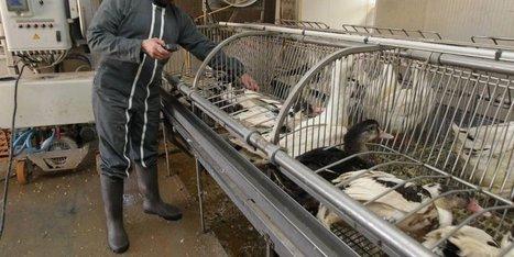 Grippe aviaire : le vide sanitaire a débuté ce lundi | Agriculture en Dordogne | Scoop.it