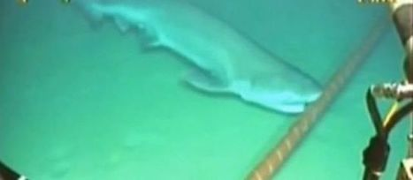 [Vidéo] Internet attaqué par les requins - 42mag.fr | Requins en Péril | Scoop.it