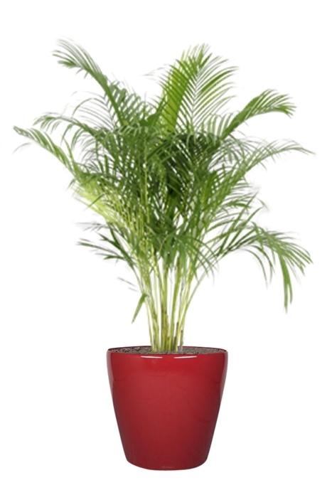 L'Aréca (Areca lutescens), une touche d'exotisme dans les bureaux ! | La Location de plantes | Scoop.it