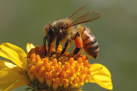 Insanity: US Approves Bee Death Pesticide as EU Bans It | GMOs & FOOD, WATER & SOIL MATTERS | Scoop.it