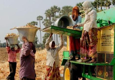 India: Maize a hit in paddy rich Krishna Western delta | MAIZE | Scoop.it