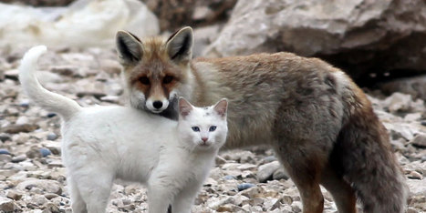 Somewhere In Turkey, A Wild Cat And A Fox Are Best Friends   Abgefahrene Tiere   Scoop.it