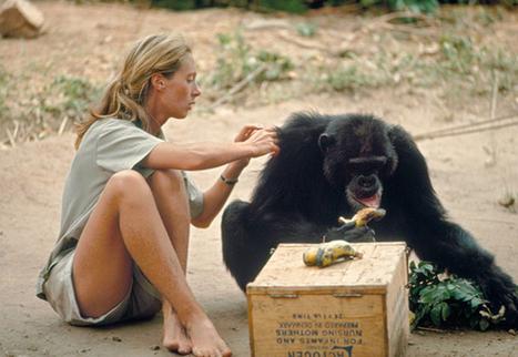 Jane Goodall et le National Geographic   Vegactu - végétarien, végétalien et végan   Scoop.it