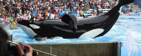 Why killer whales should not be kept in captivity | My Mosaic | Scoop.it