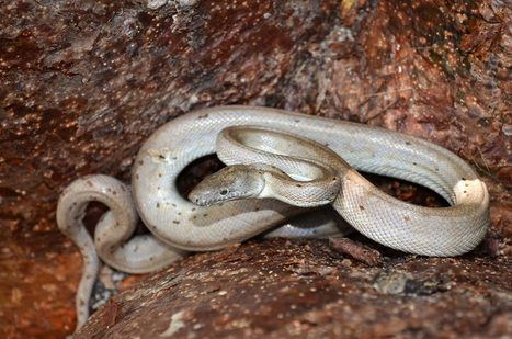 New Species of Silver Snake Is Extremely Endangered | LibertyE Global Renaissance | Scoop.it