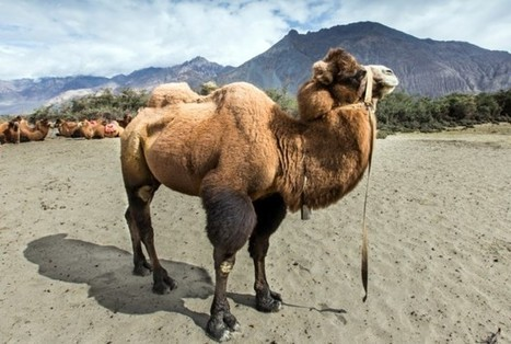 Does the Camel Study Really Prove That the Bible Is Inaccurate? - TheBlaze.com | Agriculture | Scoop.it