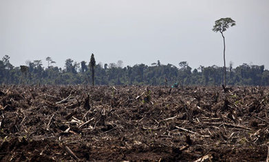 Paper firm APP admits 'accidentally' breaking deforestation moratorium - The Guardian | Newsletter | Scoop.it